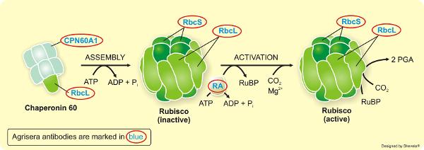 Agrisera专业经典RUBISCO/Carbon metabolism抗体